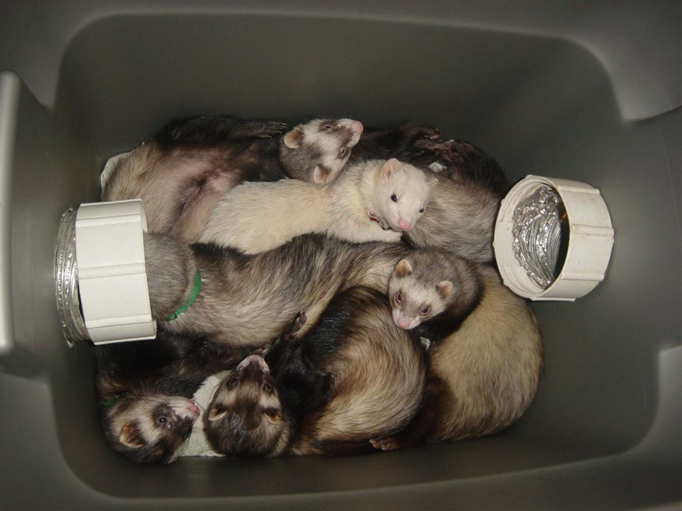 Ferret-Pile in the Sleeping Den! Photo Credit: Heather Downie