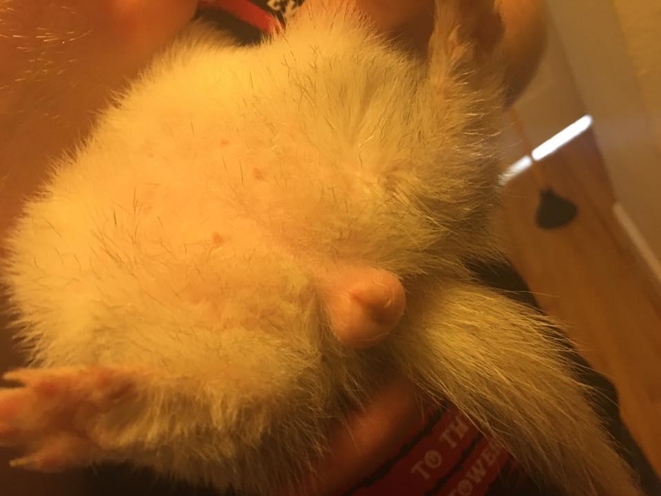 Sprite (spayed female) with a Swollen Vulva Ferret: Vixen Photo Credit: Tiffany