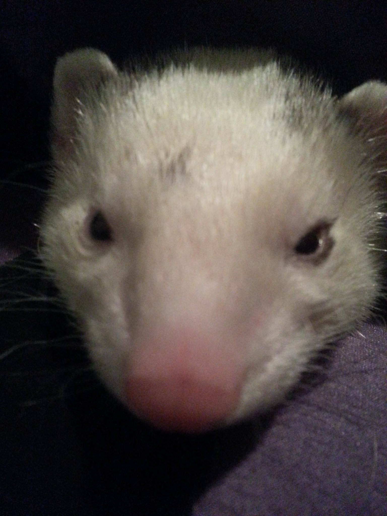 Photo Credit: McKenna Schmitt Ferret: Javik