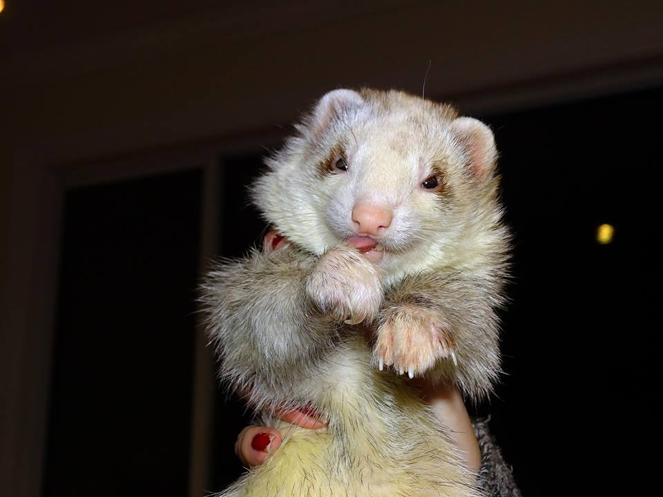 Photo Credit: Celene Hoag Ferret: Leonard
