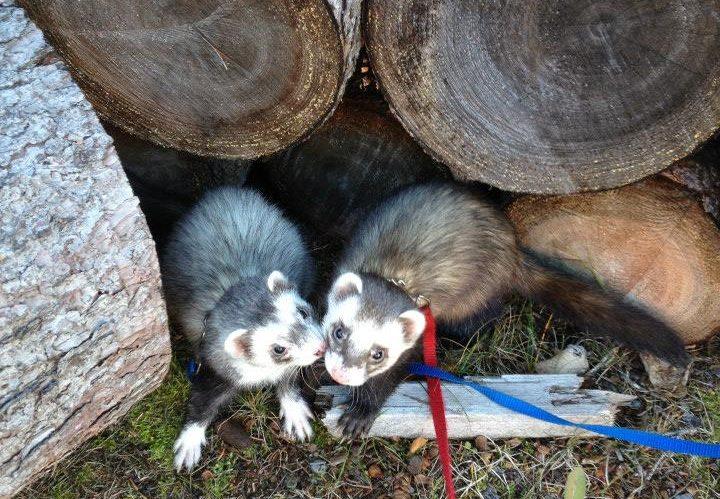 Photo Credit: Katt Crouch Ferrets: Kenai (left) and Koda (right)