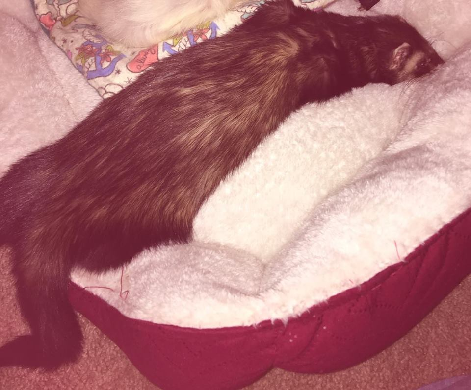 Mordy grieving over the loss of his cagemate Evanna. Photo Credit: Bella Jaime Ferret: Mordy