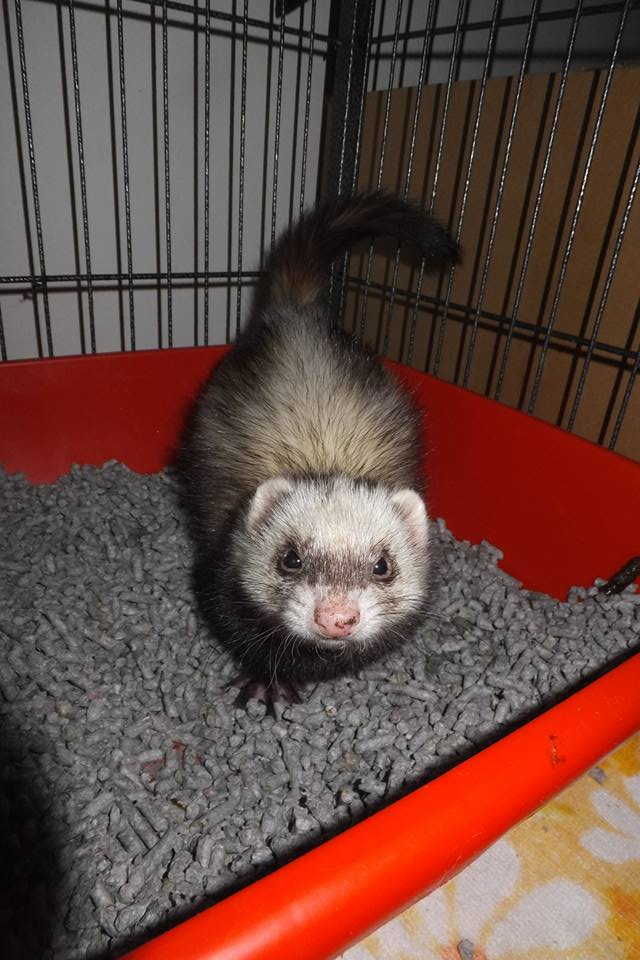 With enough time and patience, your ferret will learn how to use the litter box like a pro! Photo Credit: Machan Amari Ferret: Haru