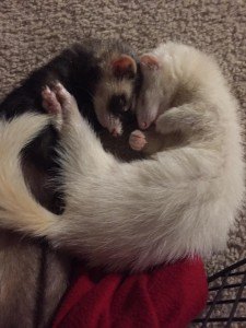 Ferrets form incredibly strong bonds - with their cage mates and their humans... Photo Credit: Bella Jamie Ferrets (left to right): Mordy and Evanna