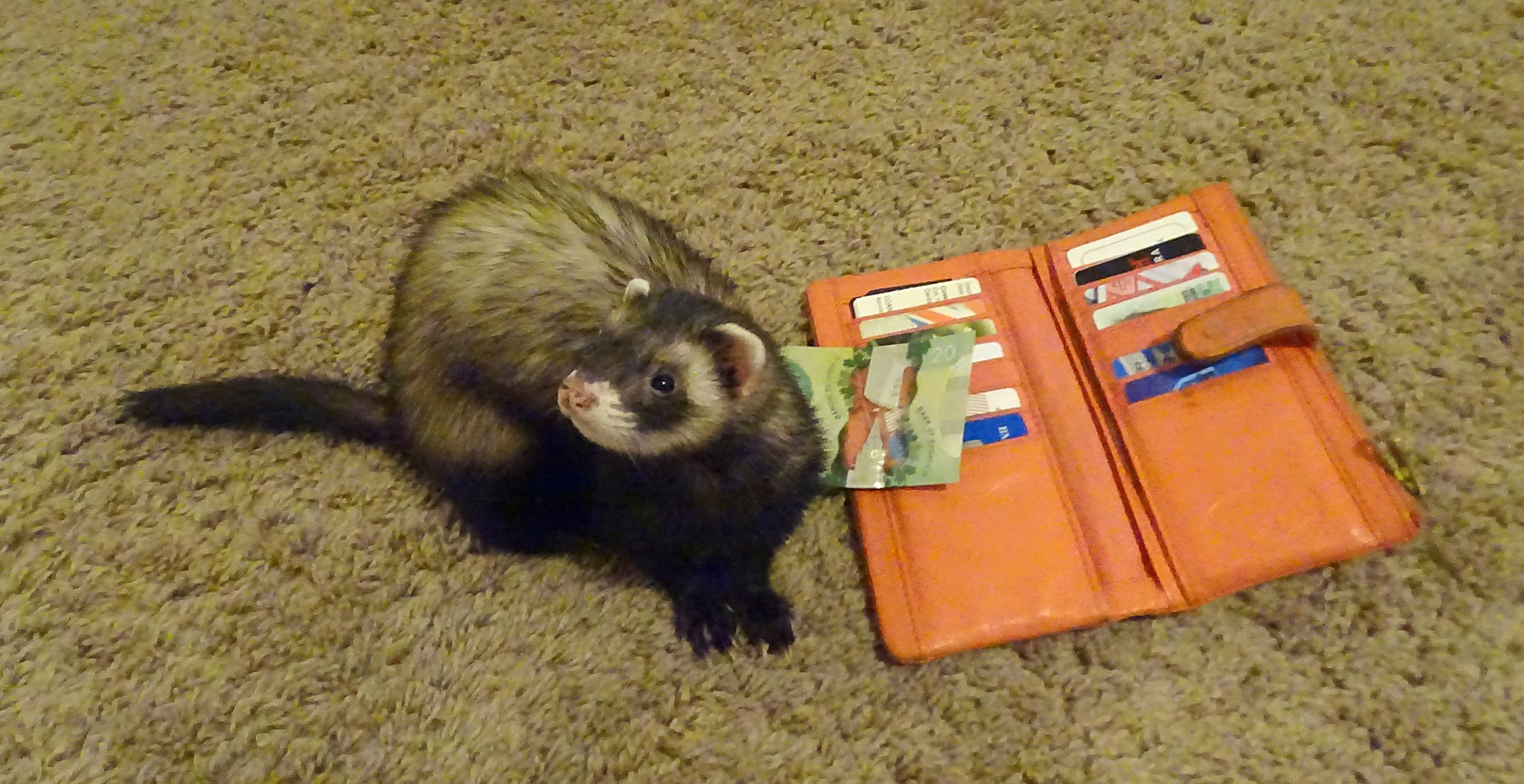 Be prepared - they will steal your heart...and your wallet! Photo Credit: Celene Hoag Ferret: Nova