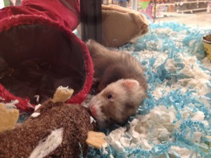 Avery at the Pet Store waiting for his new family to find him.... Photo Credit: Shawnda McCollum Ferret: Avery