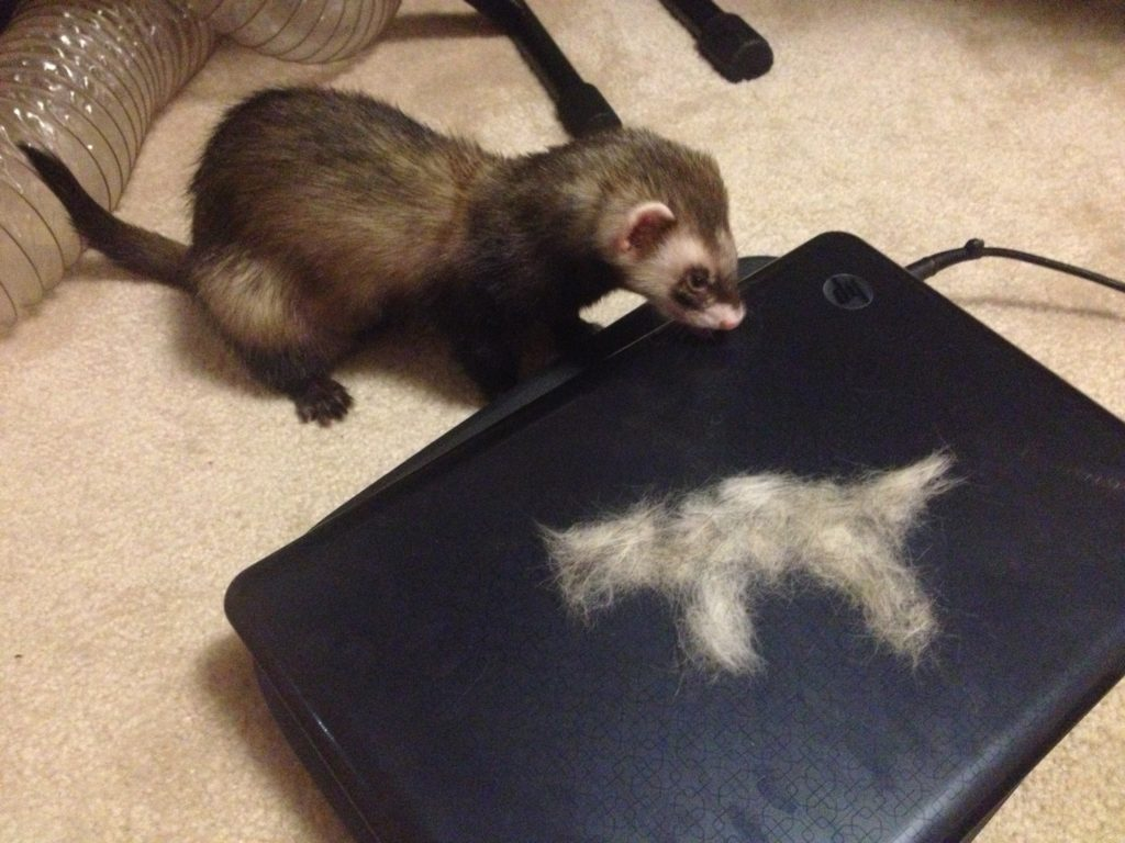 """Koda shed enough fur to make a whole new ferret!"" Photo Credit: Katt"